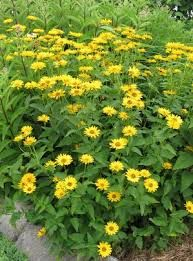 Heliopsis, False Sunflower