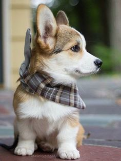 The Pembroke Welsh Corgi Puppy He is just so cute in his lit.- The Pembroke Welsh Corgi Puppy He is just so cute in his little bandana! The Pembroke Welsh Corgi Puppy He is just so cute in his little bandana! Welsh Corgi Puppies, Pembroke Welsh Corgi, Cute Dogs And Puppies, Korgi Puppies, Cute Dogs And Cats, Cute Pets, Corgi Husky Mix, Mini Corgi, Pet Dogs