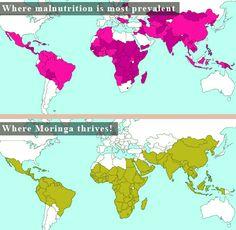 malnutrition and the Moringa tree! so crazy!