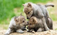 Wolf pups at play.