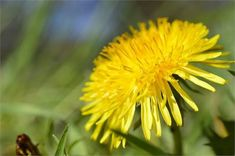 Did you know that your backyard is full of medicinal plants? Here are 15 medicinal weeds you can forage today to cure your wounds and ailments. Medicinal Weeds, Herbal Store, Wild Onions, Weeds In Lawn, Taraxacum, Sources Of Vitamin A, Wild Garlic, Light Blue Flowers, Weed Killer