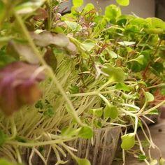 I love #microgreens  #triumphbar  #onigastronomy by ianlloydwebb