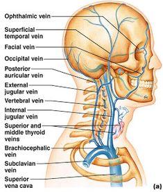 BIO 202 Arteries and veins Head Anatomy, Human Body Anatomy, Human Anatomy And Physiology, Muscle Anatomy, Throat Anatomy, Anatomy Drawing, Dental Anatomy, Medical Anatomy, Arteries Anatomy