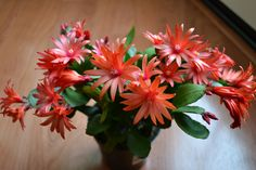 My Easter cactus. After successfully growning Christmas cacti for years, this is the first time I've heard of an Easter cactus! So I went out and brought three of them, all in different colors! Easter Cactus, Cactus Flower, Propagating Succulents, Cacti And Succulents, Garden Plants, House Plants, Flowering Plants, Tropical Plants, Desert Plants
