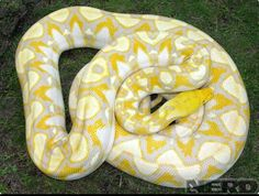 Seriously someone please get me a retic...I will love you forever