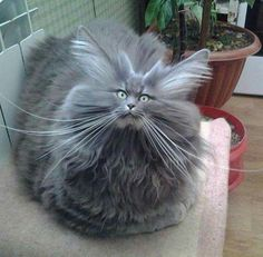 Bad Hair Day Cat cute animals cat cats adorable animal kittens pets kitten funny pictures funny animals funny cats Special thanks to Sharon Osberg: Here are some funny cats. I hope these funny cat videos … Funny Animal Pictures, Cute Funny Animals, Funny Cats, Funniest Animals, Animal Pics, Funny Images, Funny Photos, Cute Kittens, Cats And Kittens