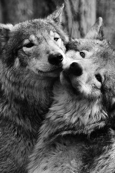 5.) These wonderful wolves.                                                                                                                                                                                 Mais