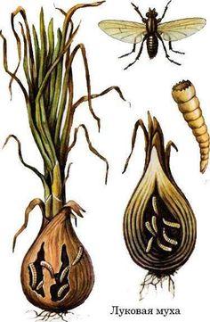 От луковой и морковной мухи. Эти вредители способны уничтожить весь урожай репки и корнеплодов. Рецепт: 1 ст. ложка нашатырного спирта на 10 л воды. Раствор тщательно размешать и полить им грядки с луком и морковкой. Через некоторое время почву надо разрыхлить. Strawberry Seed, Planting Roses, Garden Trellis, Farm Gardens, Companion Planting, Pest Control, Vegetable Garden, Decorative Bells, House Plants