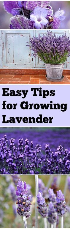 Easy Tips for Growing Lavender. Pin now read next spring