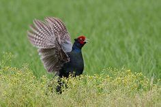 Green Pheasant(Phasianus versicolor)キジ(The national bird of Japan)