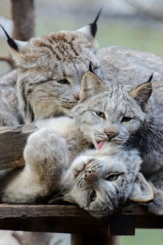 funkysafari:  Canadian lynx cleaning time by Eric Kilby