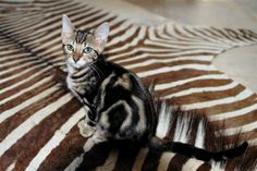 Bengal Kitty - Yes Please Exotic Cats, Kitty Kitty, Zebras, Bengal, Cool Cats, Animal Print Rug, Creatures, Rugs, Animals