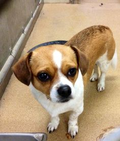 BUSTER - ID#A188780 OWNER SURRENDER OFF HOLD 4/17 I am an unaltered male, white and brown Beagle mi The shelter staff think I am about 3 years old. GARLAND ANIMAL SHELTER