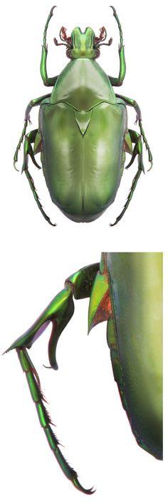 Pseudochalcothea shelfordi