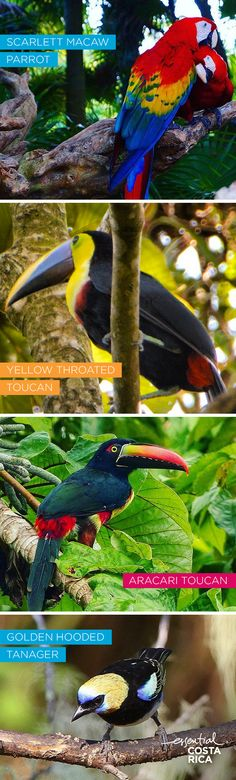 Grab your binoculars and get ready to see some of the most majestic birds on earth. Parrots, toucans and tanagers are all beautiful examples of Costa Rican wildlife.