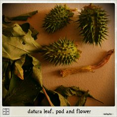 Datura leaf, pod, and flower