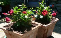 Dipladenia is similar to mandevilla vine and works outside in warm zones, or indoors as an accent houseplant. We will discuss the difference between dipladenia and mandevilla in this article.