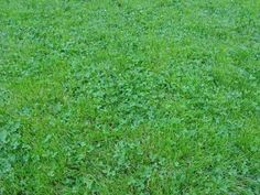 The Dirty Gardener White Dutch Clover Seed - 10 Pounds Clover Lawn, White Dutch Clover, Grass Alternative, Bermuda Grass, Grass Seed, Lawn Seed, Types Of Grass, Growing Grass, Herbs