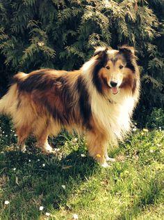 Dax ~ What a gorgeous Collie!