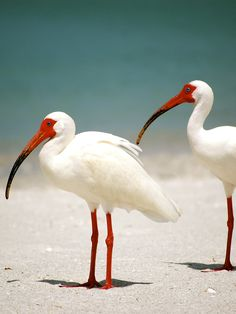 White Ibis:  can be recognized during the breeding season by its bright pink face, bill and legs. At other times of the year these body parts are all pale orange.