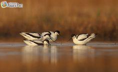 Piccola colonia di Avocetta (Recurvirostra Avosetta) in pastura nell'Allevamento #PoggiodiPonte Bird, Birds