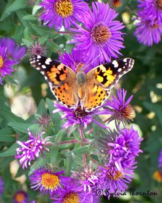 Fall Flutterby Photograph by Sylvia Thornton