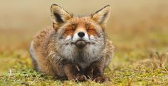 Bored Panda: Talented Dutch nature photographer Roeselien Raimond has taken countless stunning photos of beautiful creatures and wildlife, but her photos of wild foxes are especially wonderful. She agreed to give Bored Panda an interview and talk about her work photographing these cunning and beautiful creatures.