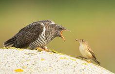 Vogel foto: Cuculus canorus / Koekoek / Common Cuckoo