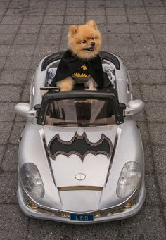 PetsLady's Pick: Adorable Batman Day Bat Dog Of The Day. Geeky Halloween Costumes, Cute Dog Costumes, Animal Costumes, Puppies In Costumes, Costume Ideas, Funny Dogs, Funny Animals, Cute Animals, Batman Dog Costume
