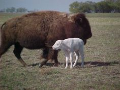 Native American Buffalo Animal Medicine