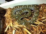 Reticulated python -100% het albino Reptiles, Reticulated Python, Snake Venom, Albino, Snakes, Carpet, Morelia, A Snake, Blankets