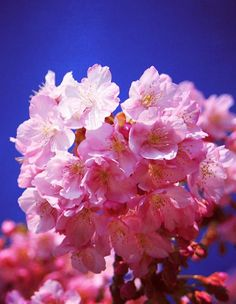 河津桜 #sakura #CherryBlossom Weeping Willow, Nature Animals, Cherry Blossoms, Four Seasons, Roads, Bamboo, Lavender, Asia, Wallpapers