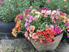 คุณนายตื่นสาย Portulaca Flowers, Potted Flowers, Flower Pots, Earth, Girls, Plants, Beautiful, Tops, Container Gardening