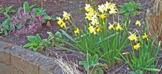 Daffodils, hebe, foxgloves, Apr 6. http://www.mandycanudigit.co.uk/#!daffodils-tulips/cms5