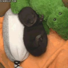 Awwww, can't get any cuter! - GIF of Sleepy Otter Pup Scratching His Nose