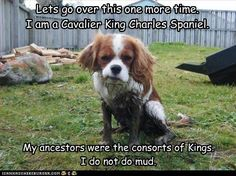 Lets go over this one more time. I am a Cavalier King Charles Spaniel.