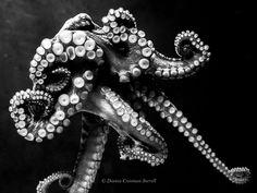 Octopus Curls   dcsorrell   Flickr