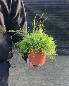 Rhipsalis Mistletoe cacti