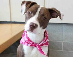 Cute Pit Bull Needs a Home