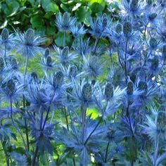 Sea Holly/Eryngium - Sea Holly is a striking plant just made for that hot, sun baked spot. Needing full sun, very drought tolerant, and thriving on neglect, these plants are perfect for xeriscaping.