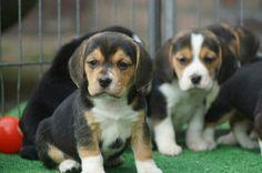 Pup koosje, 7 weeks