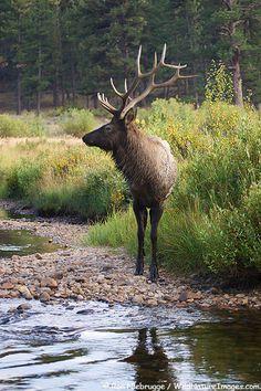 Bull Elk in Moraine Park, Colorado