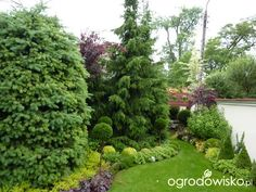 Świerk serbski - Picea omorika - strona 15 - Forum ogrodnicze - Ogrodowisko
