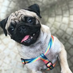 """Tongue Out Tuesday with @amora.the.pug! TAG us to be featured ~ """"Nunca se esqueça de se divertir • Don't ever forget to have fun✌️"""" ~ #pug #pugpower #pugsnotdrugs #puglife #puglove #mops #cuteness #puglover #dogs #dogsofinstagram #pugstagram #dogsofinstaworld #instapug #pugoftheday #hermoso #mopsliebe #pugs #carlino #pugsofinstagram #pugsofig #pugs #pugsdaily #pugslovers What you Wish your pug Would Pledge to You  We do not have a doorbell. I will not bark each time I hear one on TV.  I will…"""