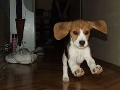 According to the AKC beagle's ears should almost reach the tip of their nose. I think this baby qualifies!