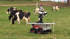 They call it 'Rover', a robot herder in Australia. But  actually in NZ, there is no herder to make cow move from field to milking shed.