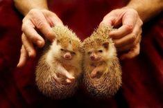 Twins! Hedge Hog, Twins, Cute, Kawaii, Gemini, Twin