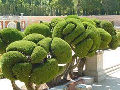 Cupressus en el parque del Retiro, Madrid
