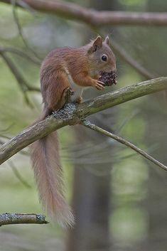 https://flic.kr/p/XmCuSF | Red Squirrel | Taken in the Scottish Highlands