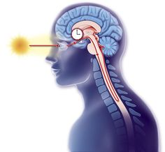 What Is the Suprachiasmatic Nucleus? Learn Its Anatomy and Function